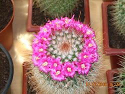 Mammillaria en flor