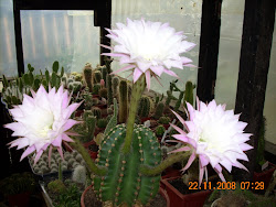 Exhuberante floración de Echinopsis