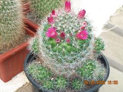 Mammillaria Zeilmaniana en Flor