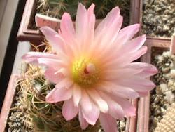 Flor grandiosa de cactus