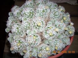 Mammillaria Fragilis en flor
