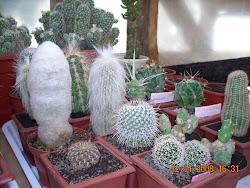 Espostoa lanata y Clesitocactus Strausii