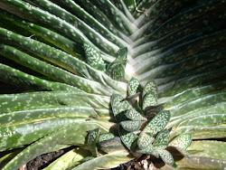 Hijuelos de Gasteria Maculata