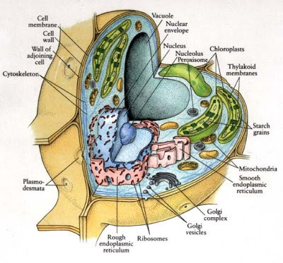animal cell labeled parts. there are many parts