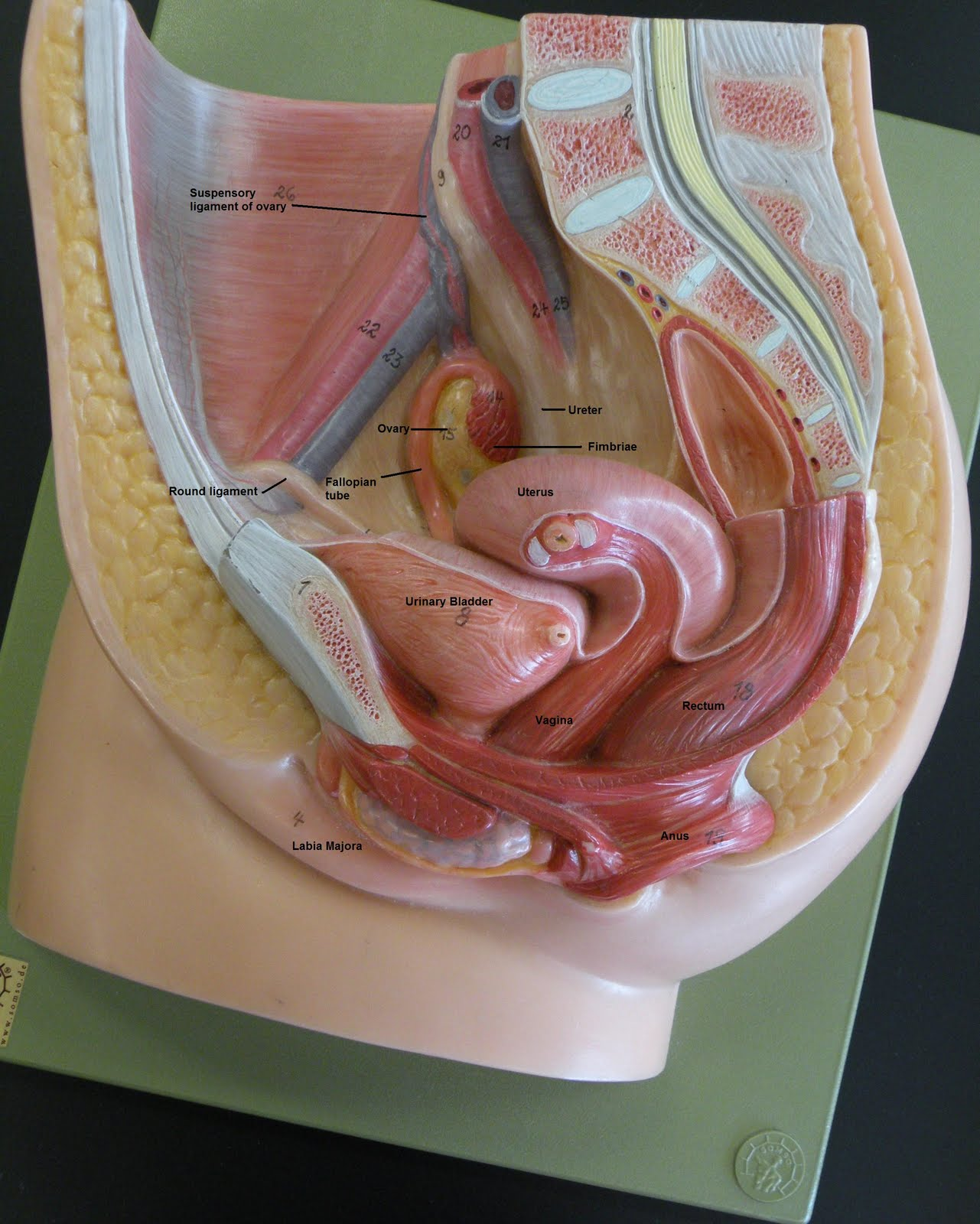 Posted by Rebecca Kimble at 8 21 AMFemale Reproductive System Model