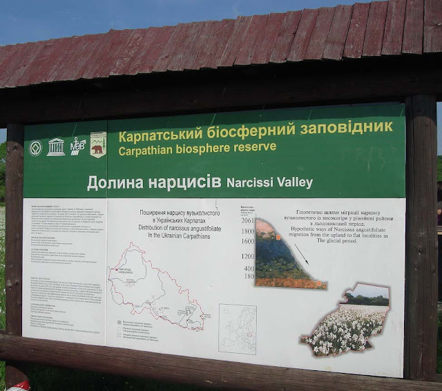 Narcissi Valley Carpathian Biosphere Reserve Ukraine