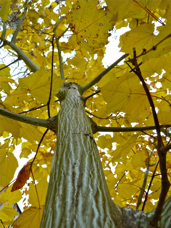 view from base of tree looking up and tree has yellow leaves