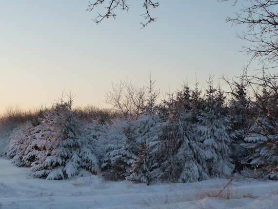 image view prior to cropping and editing showing pine trees dusted with snow