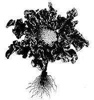 Chou-fleur (Brassica oleracea botrytis)