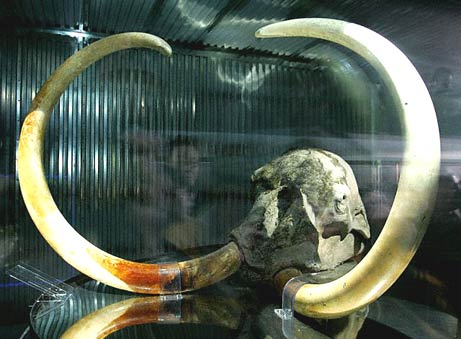 wooly mammoth skull cloning japanese scientists