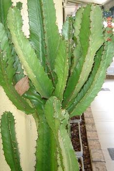 das caatingas sobrevivem belos cáctos