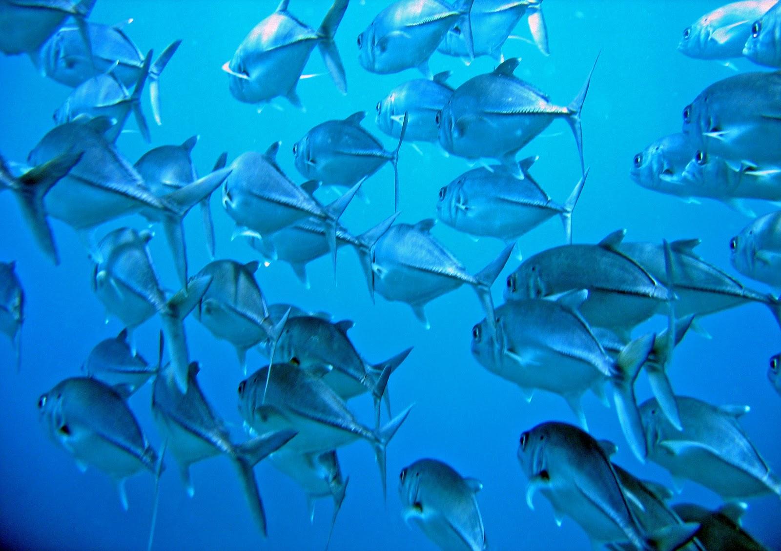 Adaleeben 39 s blog ca o island for School of fish