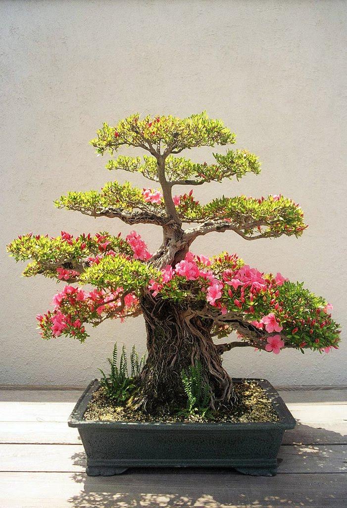 Artefacus una minificci n - Como se cuida un bonsai ...