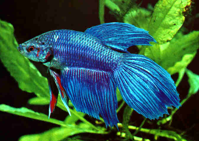 Blue Green Betta Fish