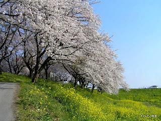 吉見町、桜堤の桜