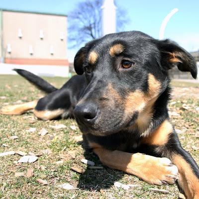 Greyhound Rottweiler Mix Peanut - rottweiler cross