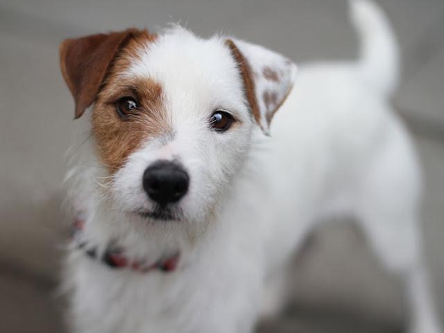 Hank jack russell terrier