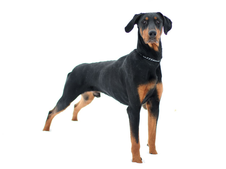 Doberman Collie Mix