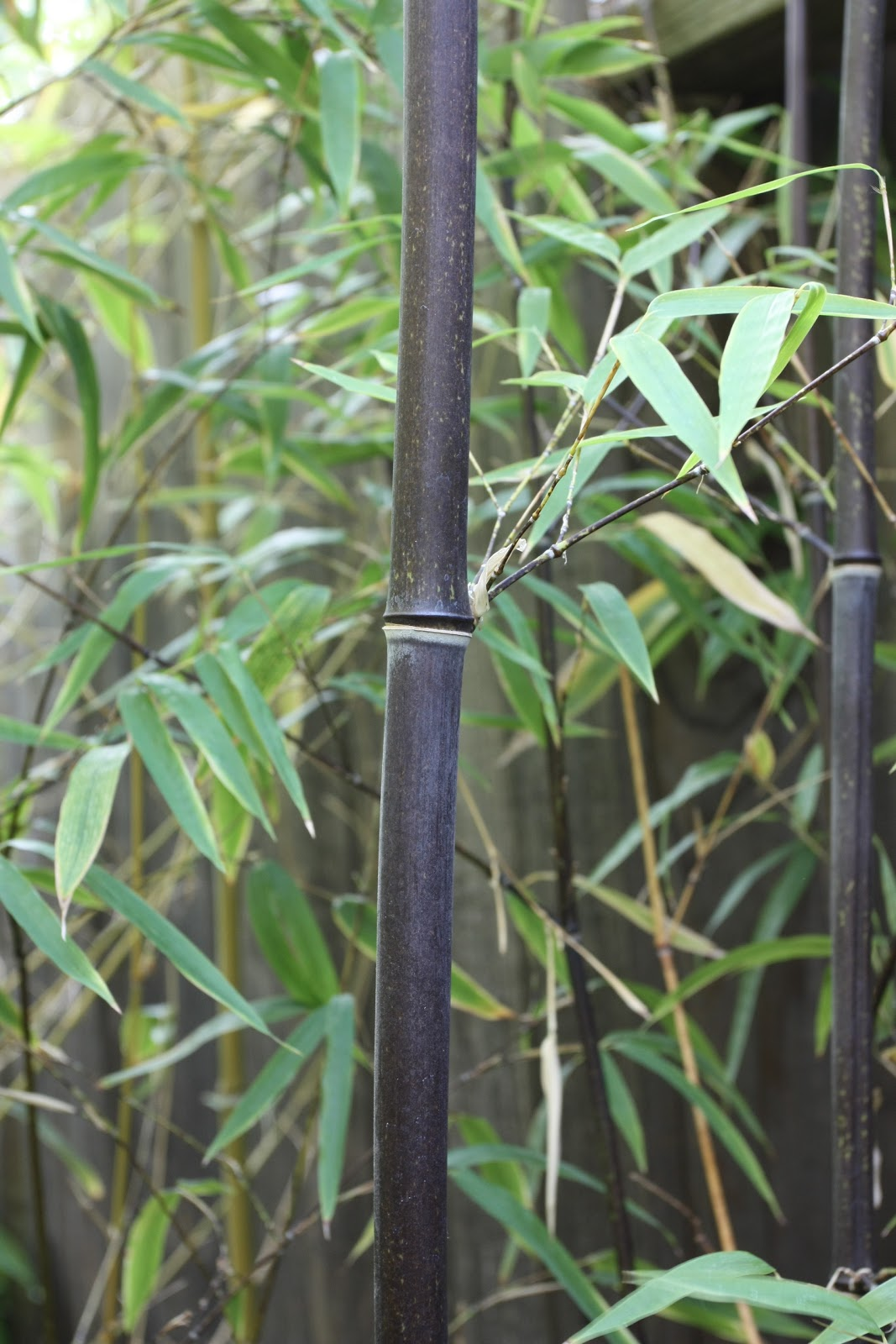 A Bamboo That Folsom Can Call Its Very Own Phylostachys Nigra Daikokuchiku Or Black