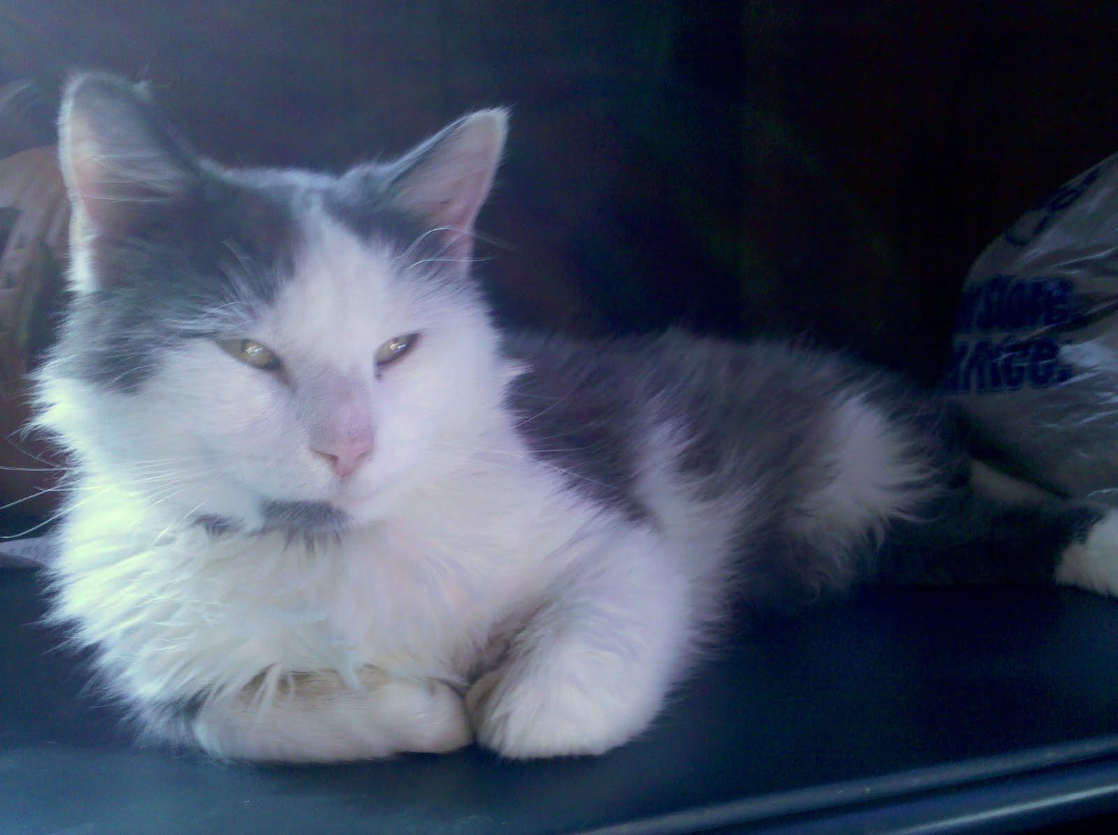 fairy tail cat girl