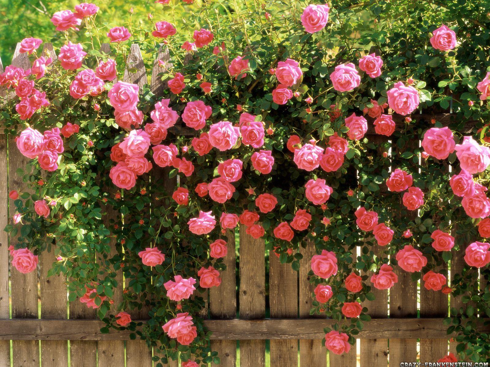 http://3.bp.blogspot.com/_vClfjdJc8Jk/TTsDeRasNzI/AAAAAAAAEzo/PhQZZCcXUB4/s1600/american-beauty-climbing-roses-wallpaper-1600x1200.jpg