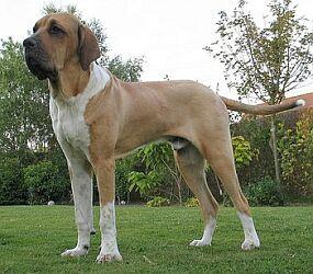 Raças de Cães - Grupo 3 (Cães de Guarda)