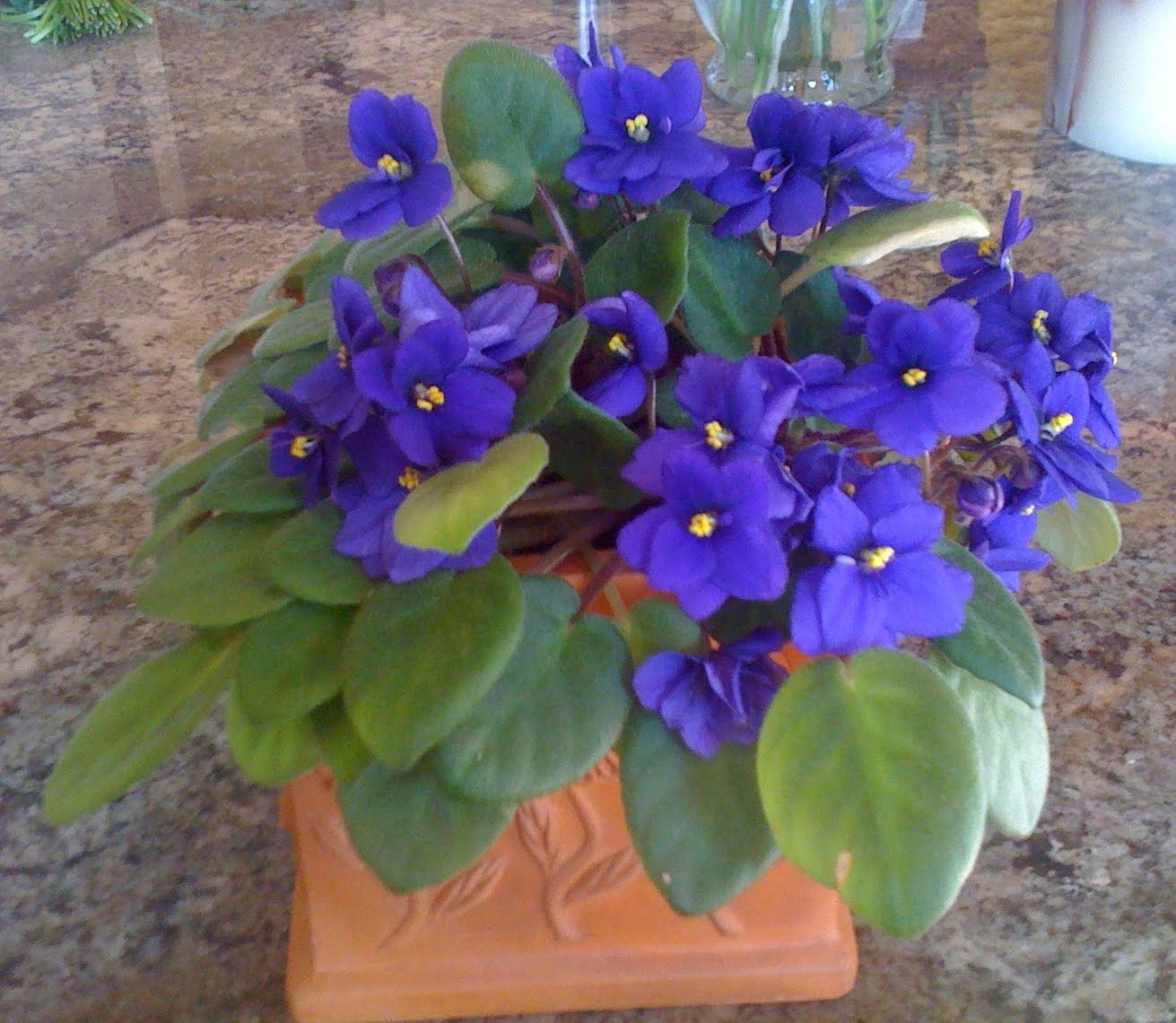 Why violets do not bloom: the main reasons 62