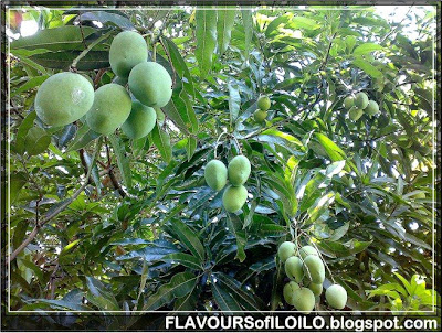 Julie Dwarf Mango Trees http://www.keywordpictures.com/keyword/green%20mango%20tree/