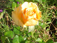 Sweet Yellow Rose in My Garden
