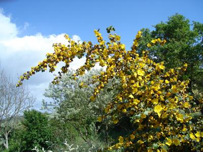 fremontia flowers