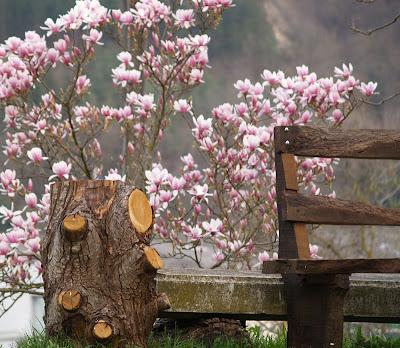 Magnolia a Lumacheto