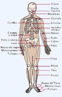 Los sistemas del cuerpo humano 1 sistema oseo - Interior cuerpo humano organos ...