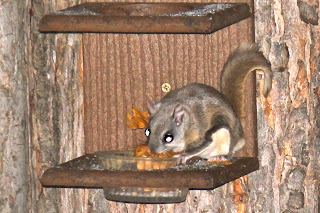 Southern flying squirrel eating from our  feeder.