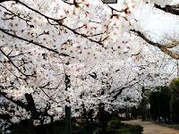 熱田神宮公園の桜