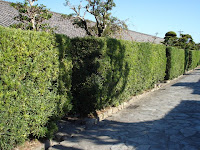 槇の生け垣がずらっと並んでいい雰囲気