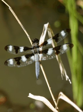 Photo of a 12-Spotted Skimmer by Ann Ranlett