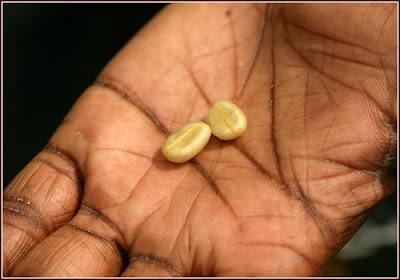 Je jamajská káva najlepšia na svete?