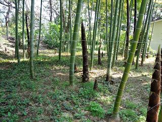 bamboo grove in Higashi Gyoen