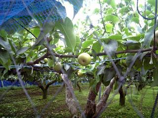 sand pear tree