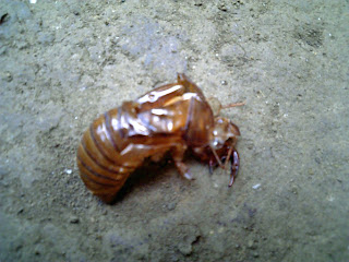 castoff shell of a cicada