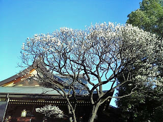 ume tree in yushima tenjin
