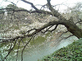 cherry blossoms start blooming at chidorigafuchi