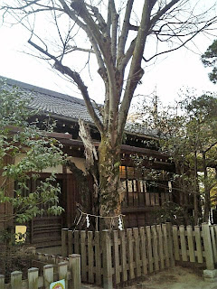 Japanese zelkova tree in funabashi shrine