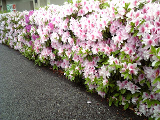 azalea on a road side