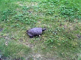 tortoise on the lawn