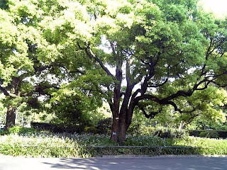 kusunoki in hibiya park