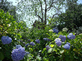 hydrangea in the temple