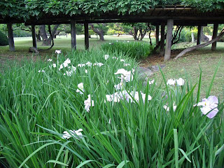 japanese iris in hama-rikyu gardens