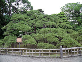300 year old pine in hama-rikyu gardens