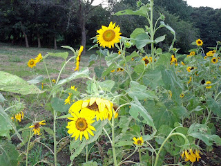 sunflower in end of summer